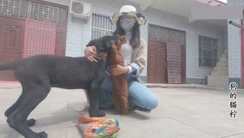 黑狼狗狗见不得主人对泰迪好,跑来就咬泰迪,这狗子太会撒娇了