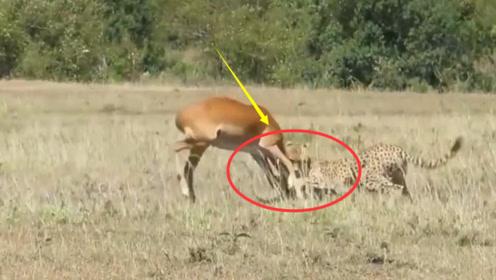 残酷动物世界:小羚羊惨遭花豹袭击,不愧是顶级捕猎者
