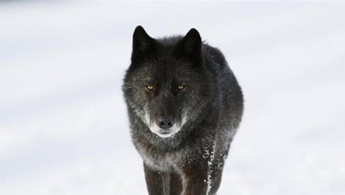 一只母狼慢慢靠近黑狼,但母狼的爸爸,确实狼群的头领