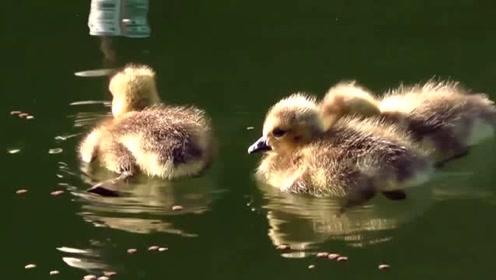 闲看丑小鸭长成记!加拿大黑雁结伴春归寻伴侣!