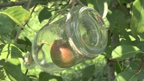 梨子酒中的梨,到底是怎么塞进去的?看完感觉智商被侮辱