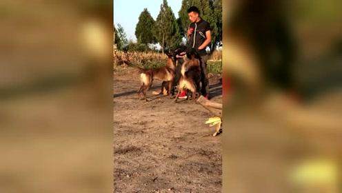 马犬应该如何训练,这方法非常不错,狗狗非常听话