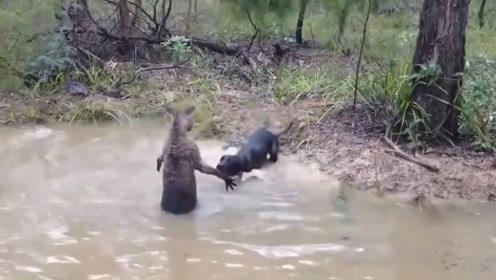 袋鼠大战狗狗,狗狗直接被摁在水里,袋鼠:我呛不死你!