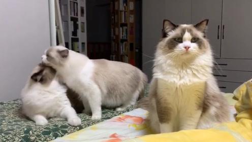 像极了你谈恋爱的样子,嫉妒也会使猫咪面目全非!