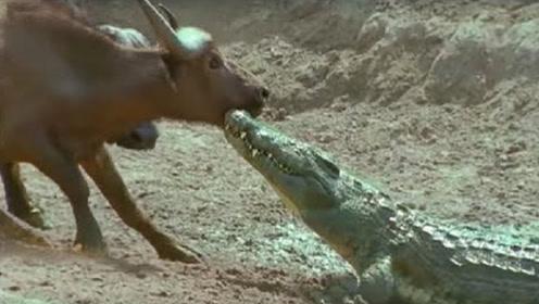 野牛正在河边喝水,突然遭鳄鱼袭击,野牛的举动让人意外