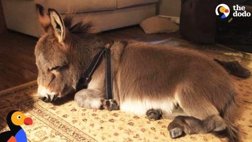 美女养了一头驴,驴却把自己当狗养,简直不要太萌