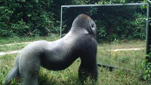将镜子放到猩猩面前,它会有什么反应?