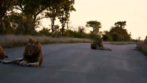 刚出道的6头曼提马勒雄狮,在公路散步