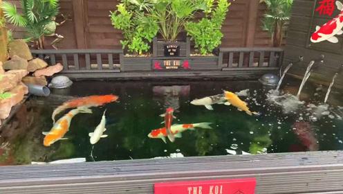 外国人精心打造的锦鲤池,给我的感觉就是不一样,凑近一瞧,真养眼