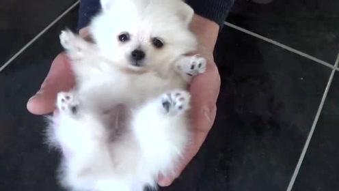 一个多月大的小博美,实在是太可爱了