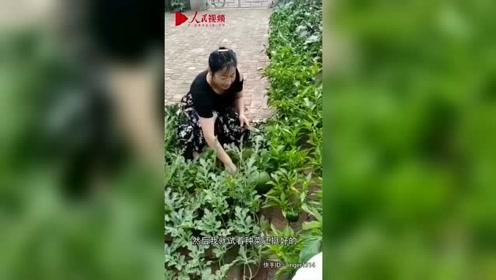 女子砖缝里种菜走红:一年四季不用买菜 邻居争相模仿