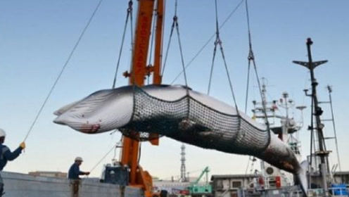 日本人不顾警告捕杀鲸鱼,不是为了吃肉,背后隐藏的阴谋令人胆寒