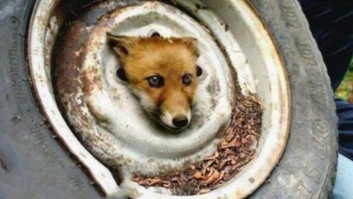 狐狸被困轮胎濒临死亡,男子勇救后,意想不到的事情发生了