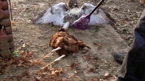 老鹰抓母鸡,结局老鹰没想到,老鹰:遇到战斗鸡了?