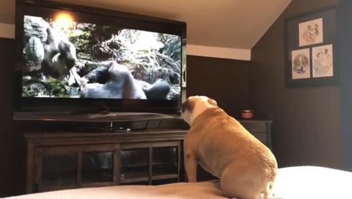 狗狗在看电视的时候都看到了什么,原来跟我们想的有这么大不同!