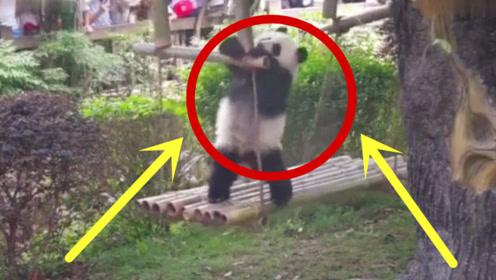 熊猫宝宝荡秋千,晃得头晕,下来都跌跌撞撞!