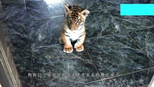 小老虎面对狗狗竟这也做,表现出很乖的样子,这也太萌了吧!