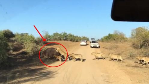 河马被十几头狮子围攻,情急之下咬住汽车向人类求救,请憋住别笑