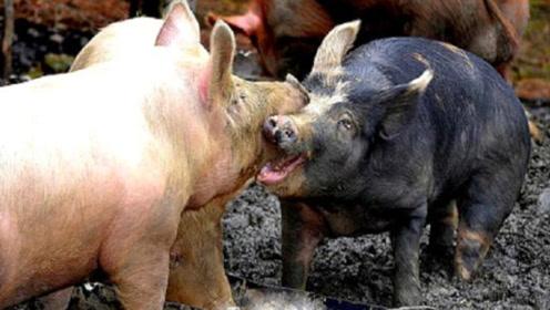 主人把野猪和家猪关在一起,不料意外发生,镜头记录全过程!