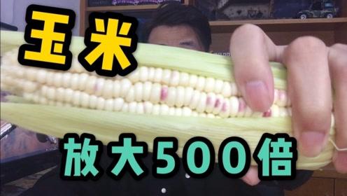 玉米放大500倍像看见了无数珍珠!看完忍不住吃一个