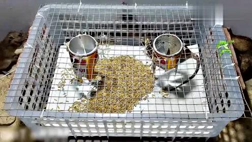 用塑料篮和易拉罐就可以制作一个捕鼠器,看这效果还是很不错的!