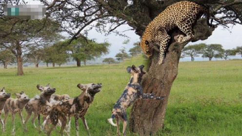 十几只野狗围攻豹子,要把它扯下来,豹子都吓傻了,真心疼它