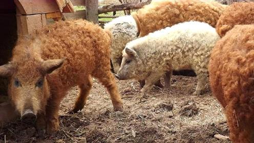 猪和绵羊杂交,到底能生下什么物种?看完难以置信!