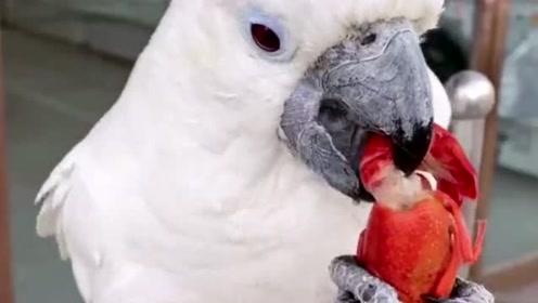 鹦鹉:第一次吃龙虾,这味道真的是难以下咽啊!