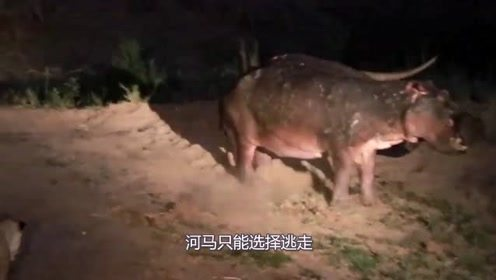 狮群夜袭围捕河马,却被河马一口咬住脑袋,这下估计是活不成了