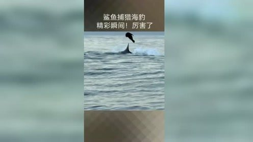 鲨鱼捕猎海豹,动作潇洒!