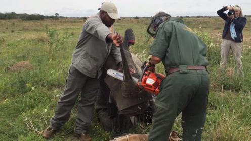 巨大犀牛角被生生切割!现在才知道,人类是为了保护犀牛安全