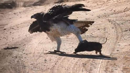 """老鹰一爪抓住野猪,最后走路却""""一瘸一拐"""",鹰脸都丢尽了"""