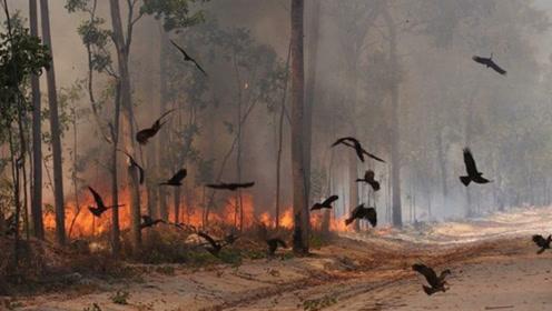说出来你可能不信,澳大利亚的鸟会放火,网友:上辈子是凤凰?
