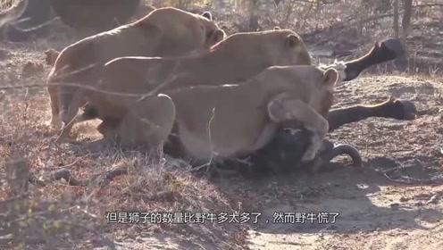 野牛被狮群围攻,双方实力差太多,命悬一线才知道自己有爆发力!