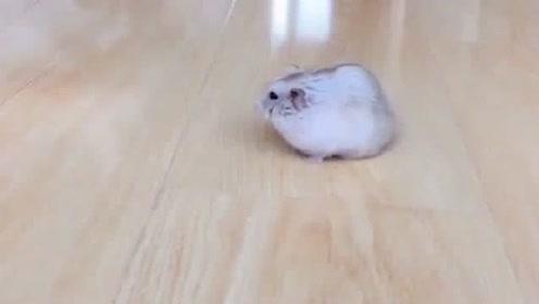 这是一只很可爱的老鼠,猫咪非要吃了它,还好我及时制止!
