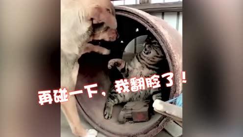 当狗狗手欠起来,猫咪差点哭出声:你上辈子是折翼的天狗吗?