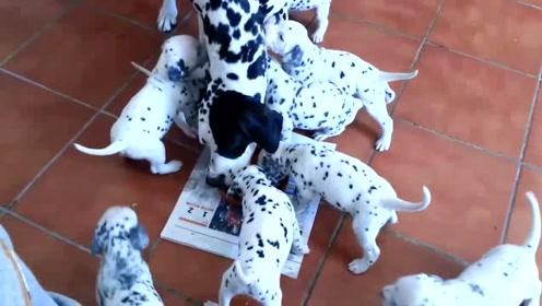 一个月大的小狗围着母亲要喝奶,这狗也太能生了