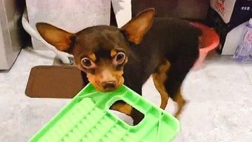狗狗有洁癖,让主人帮它洗衣服洗被子,瞧它那献殷勤的小样子!