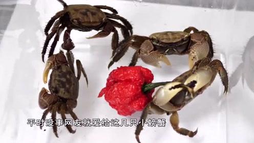 """""""死神辣椒""""有多辣?老外坑螃蟹吃辣椒,看螃蟹的下场就知道了!"""