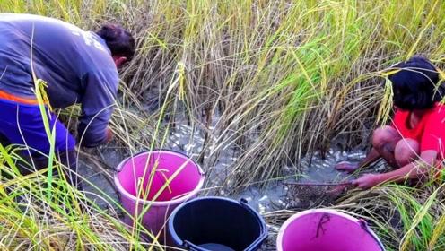 在收割稻谷前,先把田里的鱼捉了