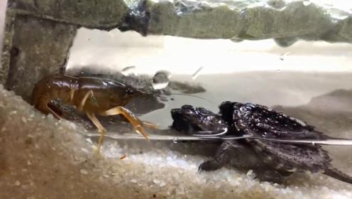"""饿了20天的乌龟盯上小龙虾,一口将其""""爆头"""",可惨了!"""