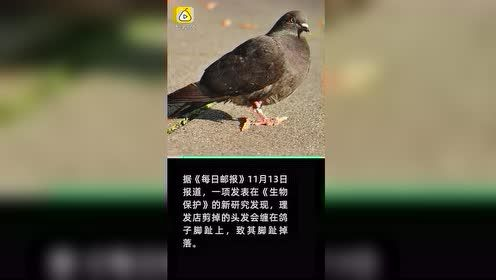 人类污染又一影响!理发店头发致鸽子脚趾掉落