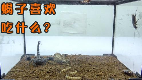 蝎子是更喜欢吃大麦虫还是更喜欢吃蟑螂呢?