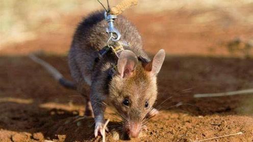 """世界上""""最值得尊敬的老鼠""""!冒着生命危险保护人类,每年拯救上万人!"""