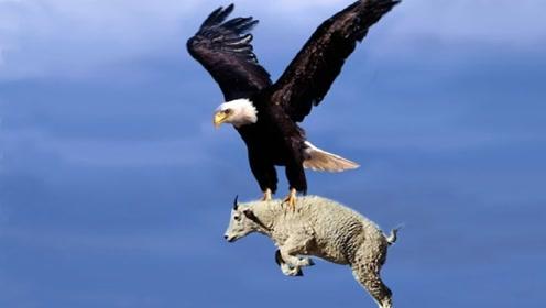 老鹰捕食大山羊,不料却栽在了山羊手里?镜头拍下全过程