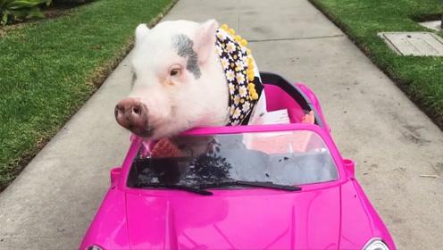 大叔把猪养到1600斤,成了当地一大特色,到底怎么养的?