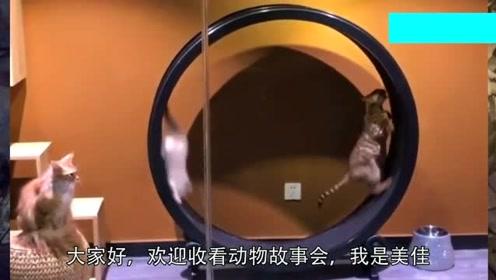 豹猫看起来非常可爱,运动天赋可不可小看,网友:这队友都摔倒了!