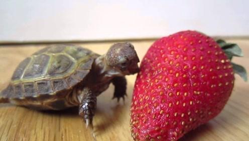 小乌龟第一次吃草莓,个头比它体积还大,下一秒笑岔气了
