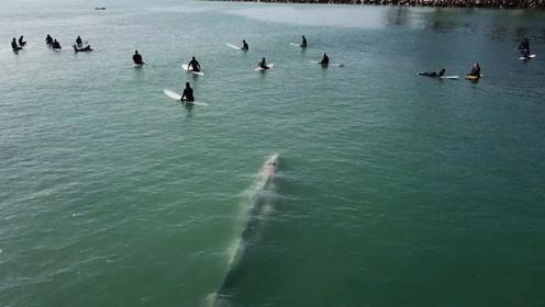 鲸鱼紧贴冲浪者水下游过 被无人机拍下神奇一幕