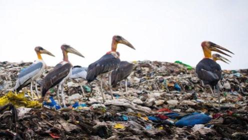 印度垃圾场生存着一群大鸟,就算当地人捡垃圾,都不会抓鸟吃
